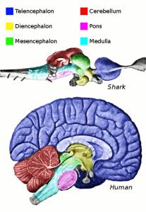 El cerebro   The brain