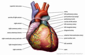 512px-Anatomy_Heart_English_Tiesworks